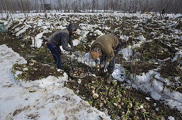 KASHMIR-AGRICULTURE-RADISH-SNOW-HARVEST