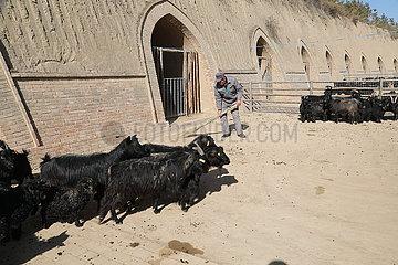 CHINA-Qingyang-goat-Breeding (CN)