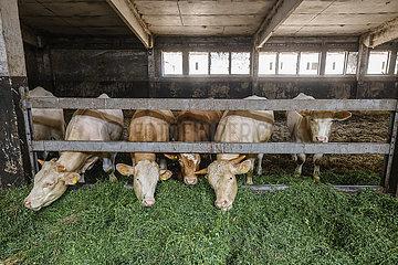 Rinder im Stall fressen frisches Gras  Wittichenau  Sachsen  Deutschland