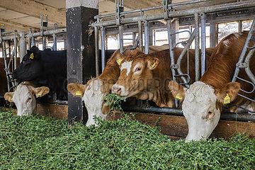 Bio Rinder im Stall fressen frisches Gras  Oberlausitz  Sachsen  Deutschland