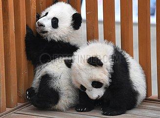CHINA-SHAANXI-qinling PANDA-CUB (CN)