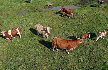 MIDEAST-Golan-COW