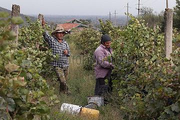 Kwareli  Georgien  Frau und Mann bei der Weinernte