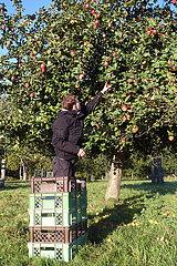 Demmin  Deutschland  Teenager pflueckt Aepfel von einem Apfelbaum