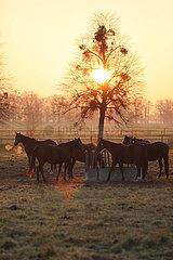 Gestuet Graditz  Pferde bei Sonnenaufgang auf einer Weide an einer Heuraufe