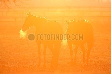 Gestuet Graditz  Pferde am Morgen im Sonnenlicht auf einer Weide