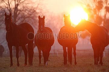 Gestuet Graditz  Pferde bei Sonnenaufgang auf einer Weide