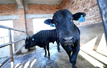 CHINA-SHAANXI-NATIONAL BEEF CATTLE IMPROVENMENT CENTER (CN)