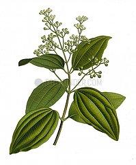 Zeylon Zimtbaum cinnamomum zeylanicum