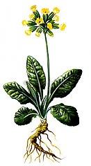 Schluesselblume Primula veris Serie Heilkraeuter Aurikel