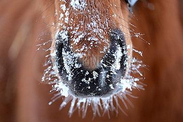 Gestuet Goerlsdorf  Schnee haftet am Maul eines Pferdes