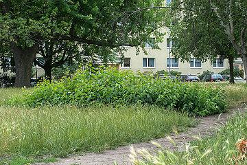 Berlin  Deutschland - Wildwuchs auf der Gruenflaeche eines Wohngebietes in Berlin-Mitte