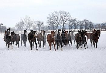 Gestuet Graditz  Pferde galoppieren im Winter ueber eine schneebedeckte Koppel