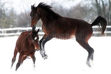 Gestuet Graditz  Pferde toben im Winter auf einer schneebedeckten Koppel herum