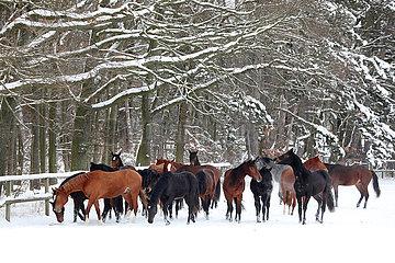 Gestuet Graditz  Pferde stehen im Winter auf einer schneebedeckten Koppel