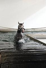Muenchen  Pferd schwimmt am Zuegel in einem Wasserbecken