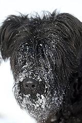 Berlin  Deutschland  Schnee haengt im Fell eines Riesenschnauzers