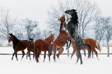 Gestuet Graditz  Hengste fechten im Winter auf einer Koppel die Rangordnung aus