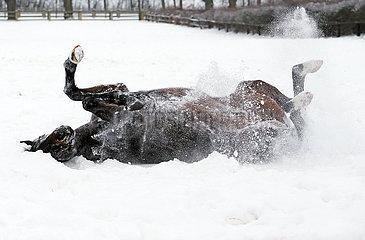 Gestuet Graditz  Pferd waelzt sich im Winter auf einer schneebedeckten Koppel
