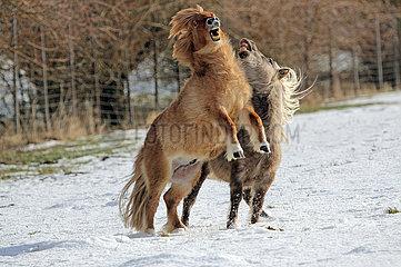 Landshut  Minishetlandponies fechten auf einer schneebedeckten Weide die Rangordnung aus
