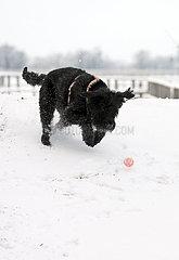 Graditz  Deutschland  Riesenschnauzer rennt im Winter einem Ball hinterher