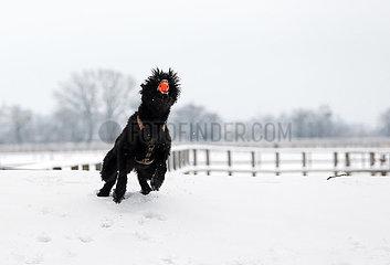 Graditz  Deutschland  Riesenschnauzer faengt im Winter auf einer verschneiten Wiese einen Ball