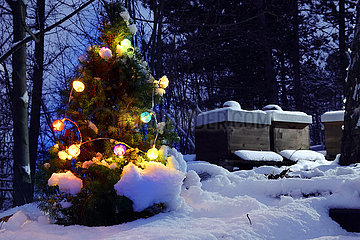 Graditz  Deutschland  Riesenschnauzer springt im Winter einem Ball hinterher