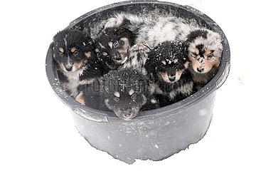 Breitenbach  Deutschland  Hundewelpen liegen im Winter eng aneinander gekuschelt in einem Eimer