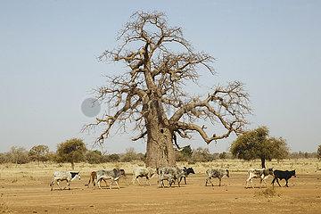 Baobab Baum und Rinderherde