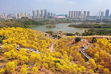 CHINA-GUANGXI-NANNING-tabebuia Chrysantha-BLOSSOM (CN)