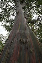 SINGAPORE-TREE-COLORS
