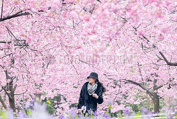 #CHINA-HUBEI-WUHAN-CHERRY BLOSSOMS (CN)