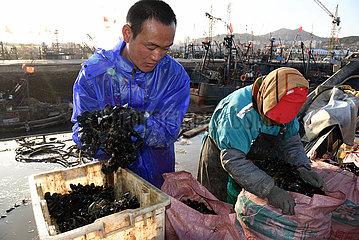 CHINA-SHANDONG-RIZHAO-MUSSEL (CN) CHINA-SHANDONG-RIZHAO-MUSSEL (CN) CHINA-SHANDONG-RIZHAO-MUSSEL (CN)
