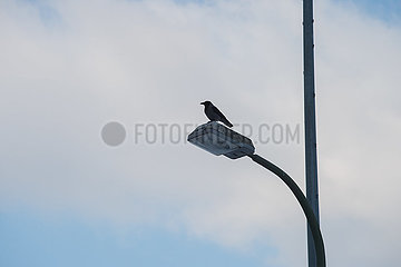 Berlin  Deutschland - Kraehe sitzt auf einer Strassenlaterne