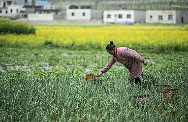 CHINA-GUIZHOU-Jingzhe-SPRING Landwirtschaft (CN)