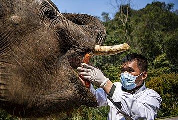 CHINA-YUNNAN-JINGHONG-Asiatische Elefanten Examination (CN)