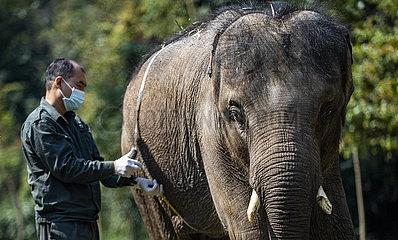 CHINA-YUNNAN-JINGHONG-Asiatische Elefanten Examination (CN) CHINA-YUNNAN-JINGHONG-Asiatische Elefanten Examination (CN)