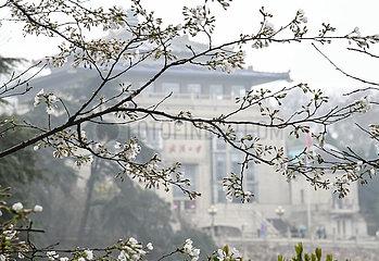CHINA-HUBEI-WUHAN-KIRSCHBLÜTEN (CN) CHINA-HUBEI-WUHAN-KIRSCHBLÜTEN (CN)