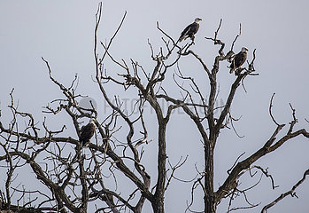 US-ILLINOIS--Felsen-Insel-BALD EAGLES