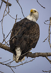 U.S.-ILLINOIS-ROCK ISLAND-BALD EAGLES