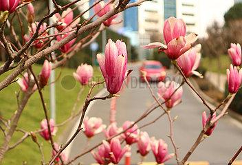 TURKEY-ISTANBUL-MAGNOLIA FLOWERS