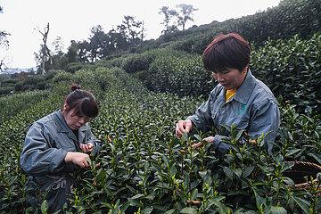 CHINA-ZHEJIANG-Hangzhou-WEST LAKE longjing TEA-Picking (CN) CHINA-ZHEJIANG-Hangzhou-WEST LAKE longjing TEA-Picking (CN) CHINA-ZHEJIANG-Hangzhou-WEST LAKE longjing TEA-Picking (CN) CHINA-ZHEJIANG-Hangzhou -WEST LAKE longjing TEA-Picking (CN) CHINA-ZHEJIANG-Hangzhou-WEST LAKE longjing TEA-Picking (CN)