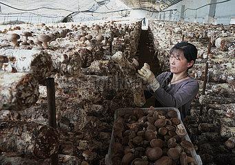 CHINA-HEBEI-Qian'An essbare Pilze (CN)