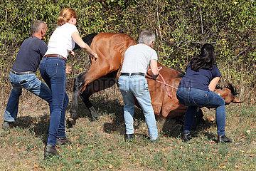 Muenchehofe  sediertes Pferd wird beim Niederlegen festgehalten