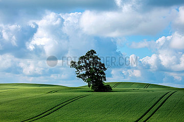 Getreidefeld in der Holsteinischen Schweiz