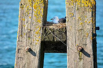 Seebrücke in Dahme  Möwe auf ihrem Nest