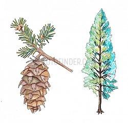 Douglasie Baum und Zapfen