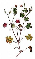 Glaenzender Storchenschnabel Geranium lucidum