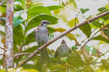 PHILIPPINEN-MANILA-WILD BIRDS