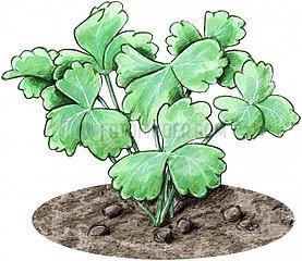 Akelei Jungpflanze